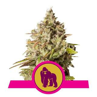 Royal Gorilla - Royal Queen Seeds 3 Samen
