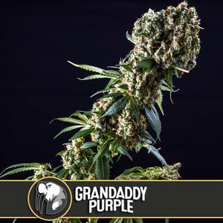 Grandaddy Purple - Blimburn Seeds 3 Samen