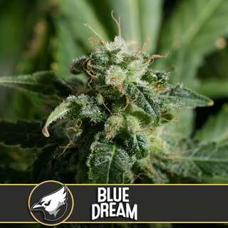 Blue Dream - Blimburn Seeds 9 Samen
