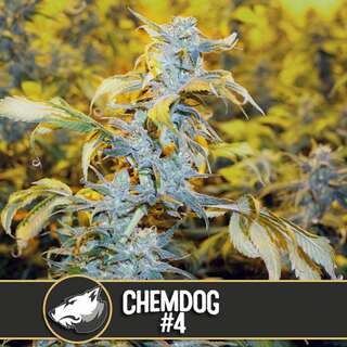 Chemdawg #4 from Blimburn Seeds 9 Seeds
