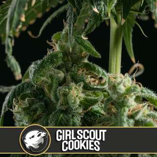 Girl Scout Cookies - Blimburn Seeds 9 Samen