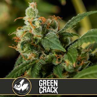 Green Crack - Blimburn Seeds 9 Samen