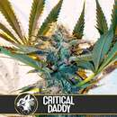 Critical Daddy from Blimburn Seeds