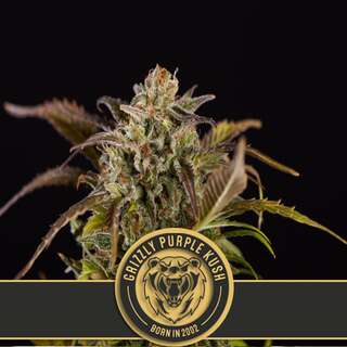 Grizzly Purple Kush - Blimburn Seeds