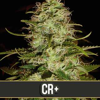 Critical Plus - Blimburn Seeds 9 Samen