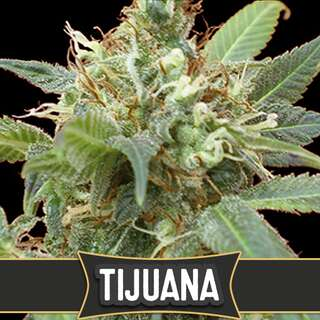 Tijuana - Blimburn Seeds