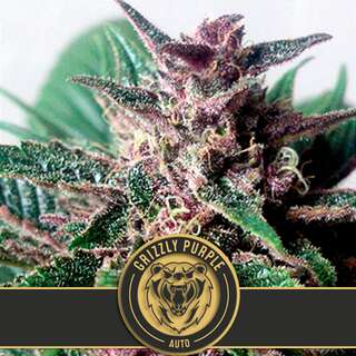 Grizzly Purple Auto - Blimburn Seeds