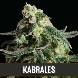 Kabrales Auto from Blimburn Seeds