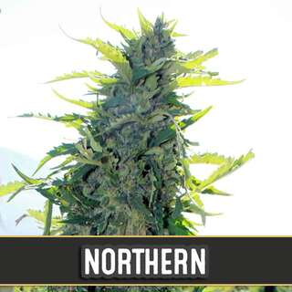 Northern Auto - Blimburn Seeds 9 Samen