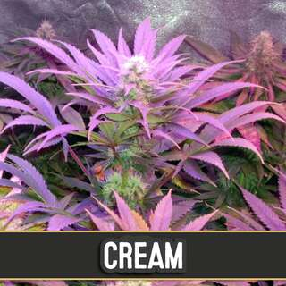 Cream Auto - Blimburn Seeds