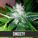 Sweety Auto from Blimburn Seeds