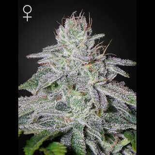 Franco´s Lemon Cheese - Greenhouse Seeds 10 Samen