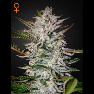 Holy Punch - Greenhouse Seeds 3 Samen