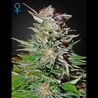 Super Lemon Haze Auto - Greenhouse Seeds 3 Samen