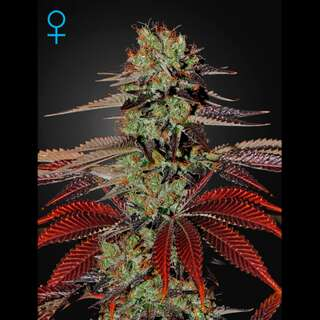 King´s Kush Auto - Greenhouse Seeds