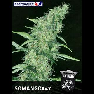 Somango #47 Feminised Seeds