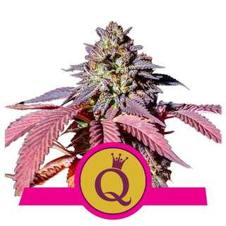 Purple Queen - Royal Queen Seeds 10 Samen
