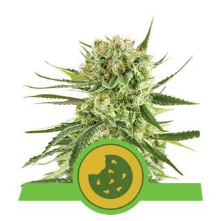 Royal Cookies - Royal Queen Seeds 3 Samen
