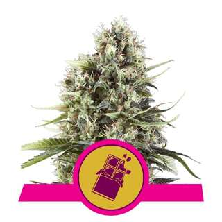 Chocolate Haze - Royal Queen Seeds 3 Samen
