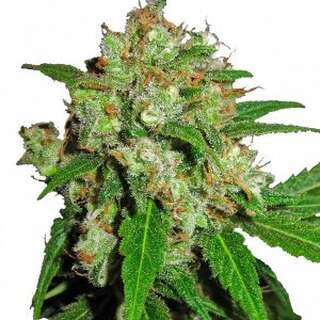 Cream Candy Auto - Seeds66 3 Samen