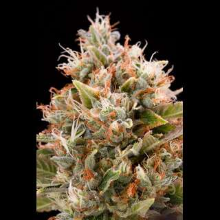Chemdawg Feminised Seeds
