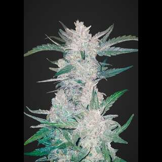 Mexican Airlines Auto - Fast Buds 3 Samen