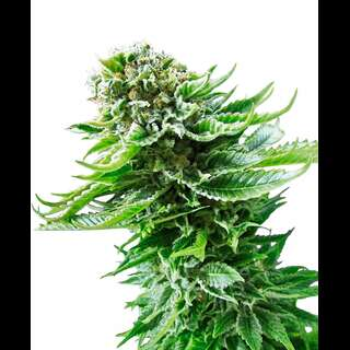 Northern Lights Auto - Sensi Seeds 5 Samen