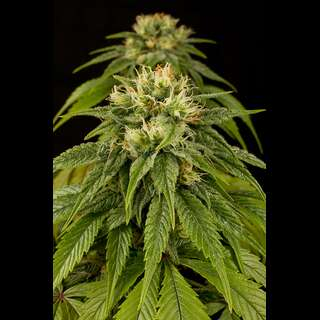 Lemon Juice Express Autoflowering Feminised Seeds