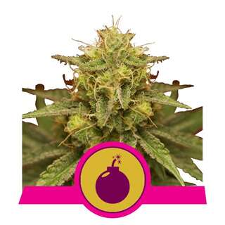 Royal Domina - Royal Queen Seeds 5 Samen