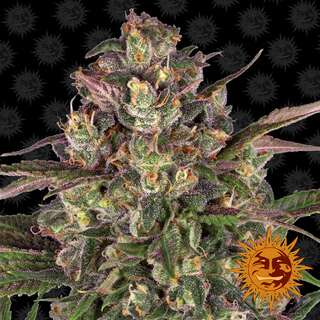 Peyote Critical - Barneys Farm 5 Samen