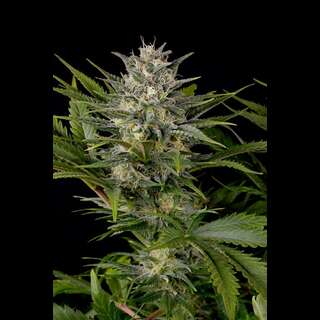 Pineapple Skunk Feminised Seeds