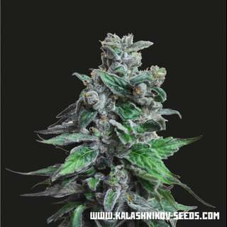 Moscow Blueberry from Kalashnikov Seeds 3 Seeds
