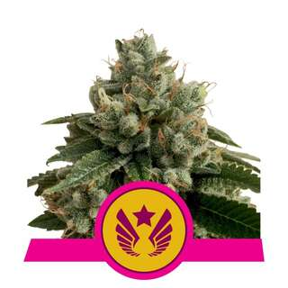 Legendary Punch - Royal Queen Seeds 3 Samen