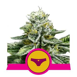 Sherbet Queen - Royal Queen Seeds 10 Samen