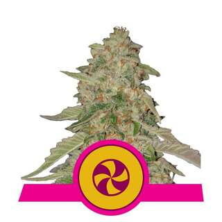 Sweet Zkittlez - Royal Queen Seeds 10 Samen
