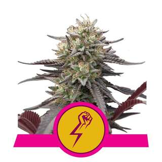 Green Punch - Royal Queen Seeds 3 Samen