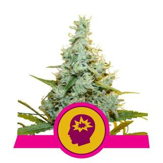 AMG - Amnesia Mac Ganja - Royal Queen Seeds 3 Samen