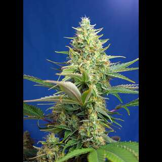 Sweet Pure Auto CBD - Sweet Seeds 25 Samen
