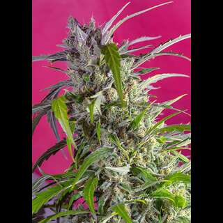 Crystal Candy Auto - Sweet Seeds 100 Samen