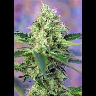 Crystal Candy - Sweet Seeds 3 Samen
