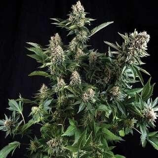 White Widow - Seeds66 10 Samen