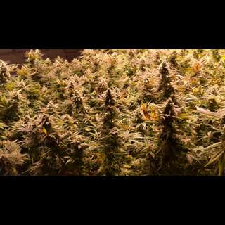 Blue Dream - Seeds66 1 Samen