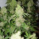 Critical Extrem Auto - Seeds66