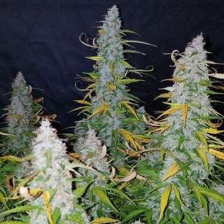 White Californian Auto - Seeds66 5 Samen