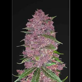 Purple Lemonade Auto - Fast Buds 10 Samen