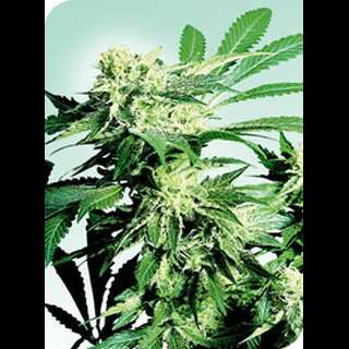 Skunk Kush Feminised Seeds