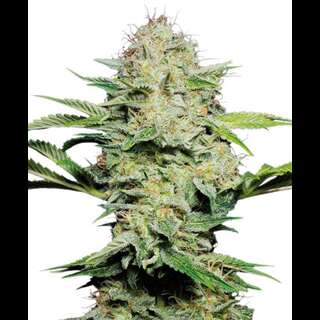 Sensi Skunk AUTO Feminised Seeds