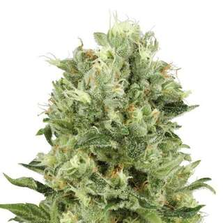 Original Critical Auto - Seeds66 10 Samen