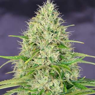 Amnesia Haze - Seeds66