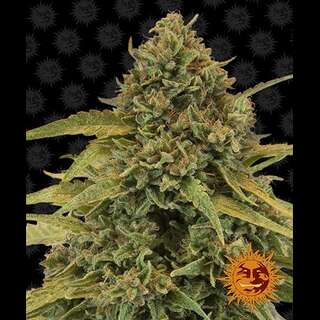 Bad Azz Kush - Barneys Farm